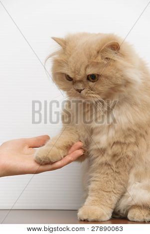 Cat shake hand with people
