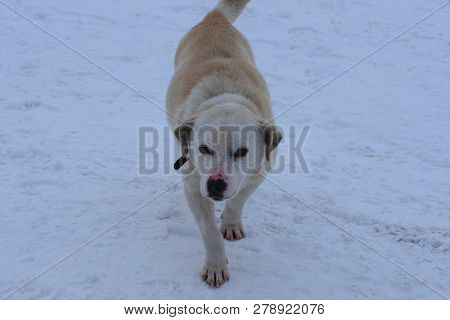 Big White Dog Standing On White Snow Outside