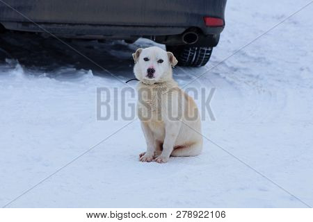 A White Dog Sits In The Snow On The Road In A Black Car With A Wheel