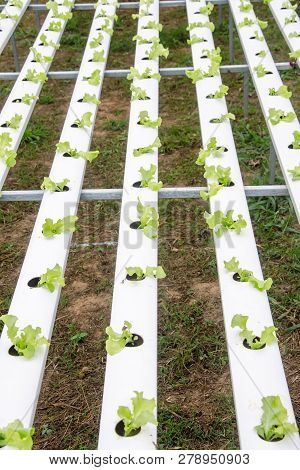 Hydroponics,organic Fresh Farme,organic Fresh Harvested Vegetables,farmers Looking Fresh Vegetables.