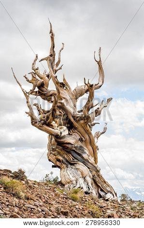 Great Basin Bristlecone Pine (pinus Longaeva) In Ancient Bristlecone Pine Forest In The White Mounta