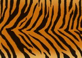 Texture for a background - a fluffy skin of a tiger poster