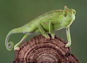 A baby veiled chameleon is walking across a dried fungus growth. poster