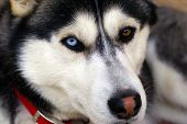 This Siberian Husky is bi-eyed (one blue and one brown eye) and has a snow nose (pink patch) poster