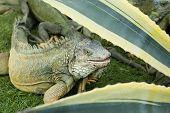 iguana roaming free range park bolivar guayaquil ecuador poster
