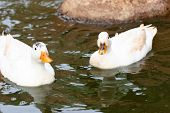 two ducks swimming in a pond poster