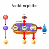 Aerobic respiration. Cellular respiration. Pyruvate enter the mitochondria in order to be oxidized by the Krebs cycle. products of this process are carbon dioxide, water, and energy. Vector diagram for educational, biological, science and medical use poster