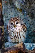 A Tawny Owl resting on a tree log in the forest. Also known as Brown Owl, this nocturnal bird of prey is commonly found in woodlands across much of Eurasia. poster