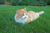 An orange and white domestic longhair cat (Felis catus) relaxing in a lawn of green grass poster