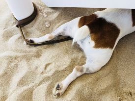 Jack Russel puppy dog friend cute being hot on the sandy beach lying hiding under the sunbed in a su