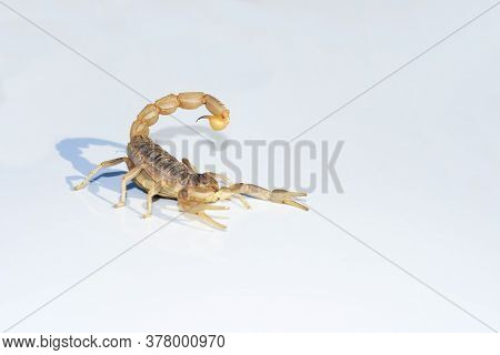 A Scorpion On White Background Shows Its Powerful Stinger Threatening To Inject Its Venom. Outdoors.