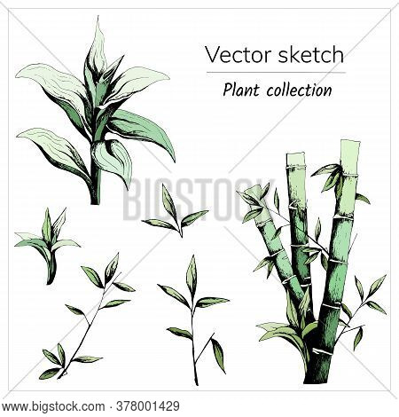 Set Of Bamboo Drawn With Ink, Stems, Leaves, Sprouts Of Bamboo. Vector Illustration Cut Out On A Whi
