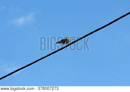 Common Starling Or Sturnus Vulgaris Or European Starling Or Starling Medium Sized Passerine Bird Wit