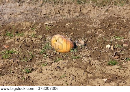Cracked Partially Rotten Small Yellow Pumpkin Left In Local Field After Picking Surrounded With Wet