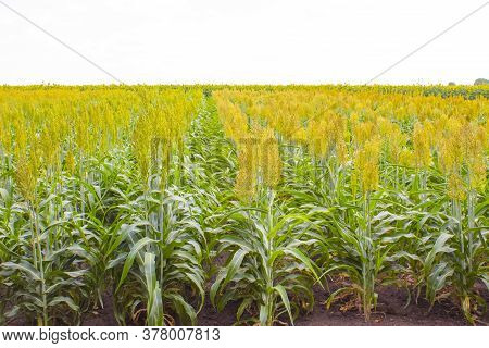 Sorghum Cultivation For Biomass Production At Sunny Day