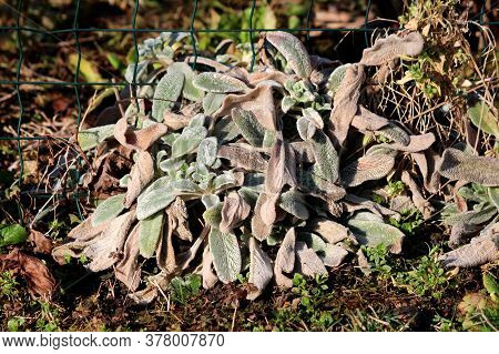 Small Colorful Lambs Ear Or Stachys Byzantina Or Woolly Hedgenettle Or Stachys Lanata Or Stachys Oly