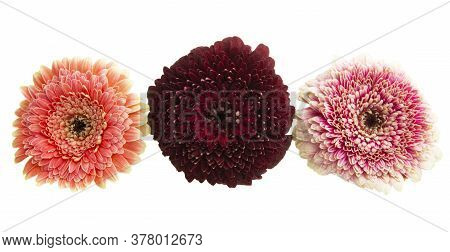 Gerbera Beauty Flower Isolated On White Background