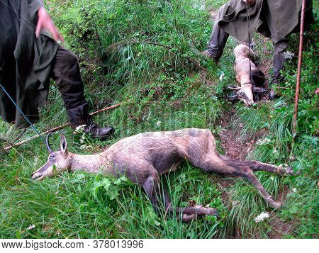 Shot Chamois In The Forest