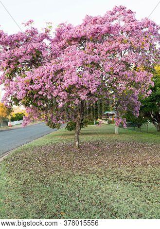 Flowering Tabebuia Palmeri Or Handroanthus Impetiginosus Covered In Pink Bell Shaped Flowers