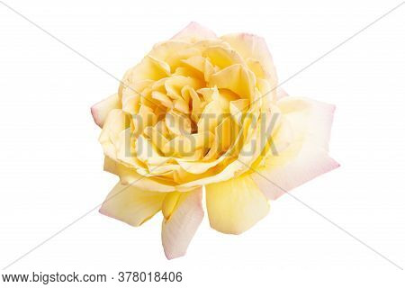 Cream Rose  Flower Isolated On White Background