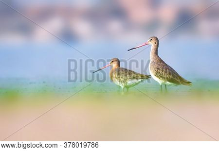With Its Long Beak, White-barred Wings And Namesake Tail, The Black-tailed Godwit Is A Distinctive A