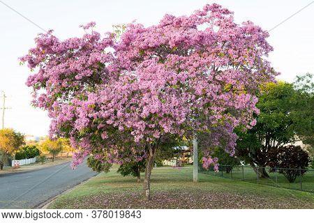 Beautiful Tabebuia Paleri Or Handroanthus Impetiginosus Or Pink Trumpet Tree Covered In Pink Flowers
