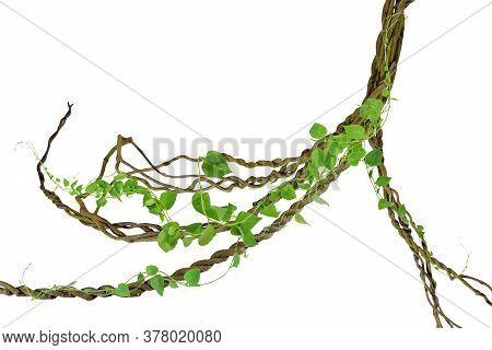 Circular Vine At The Roots. Bush Grape Or Three-leaved Wild Vine Cayratia (cayratia Trifolia) Liana