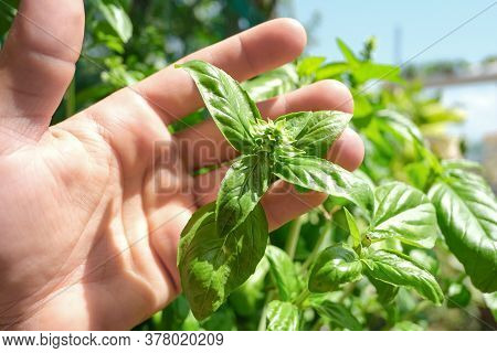 Farmer Man Holding Basil Plant Leaves On House Farm, Healthy Food Ingredients