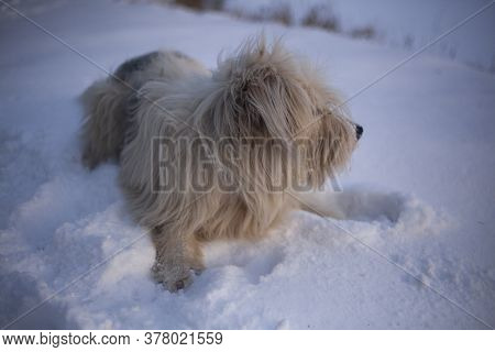 Walk In The Winter With A Pet. Dog With White Fur In The Snow. Portrait Of A Best Friend. Four-legge