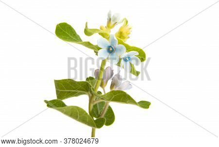 Oxypetalum Blue Flower Isolated On White Background