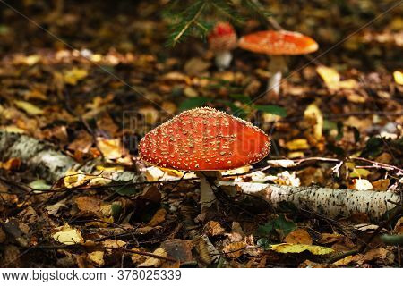Amanita Mushrooms In Forest.not Edible And Poisonous Mushrooms In Nature