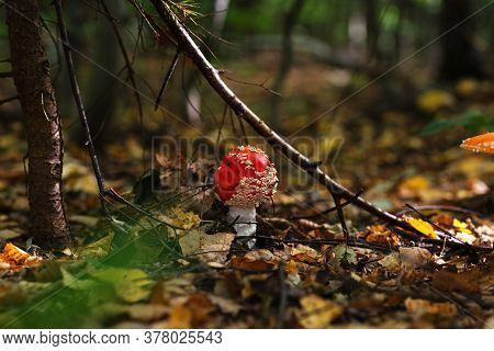 Fly Agaric Mushroom - Static Shot Mushroom Fly Agaric Young On The Floor Of A Pine Forest