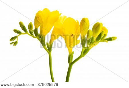 Yellow Freesia Flower Isolated On White Background