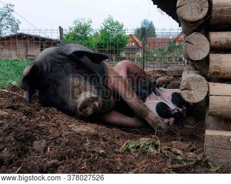 Pigs In Free Range Husbandry, Animal Welfare In Pig Farming