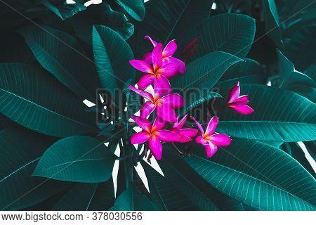 Frangipani Flowers Or Plumeria On Green Leaf Background.