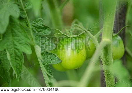 A Bush Of Young Green Tomatoes Grows In An Open-air Garden
