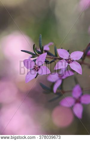 Close Up Of Pink Flowers Of The Australian Native Boronia Ledifolia, Family Rutaceae, Royal National