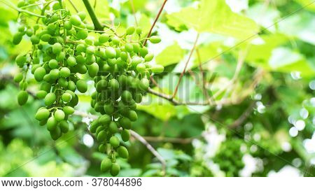 Growing Of Green, Young Grapes In Vineyard Or On Backyard,  On Summertime In Natural Environment.. U