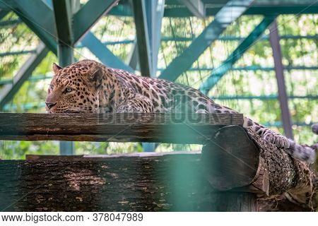Caucasian Leopard Resting In An Aviary. The Leopard Resting In The Shadow Of An Aviary. The Persian