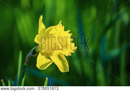 Beautiful Yellow Single Daffodil Flower In Spring Time, Natural Seasonal Background