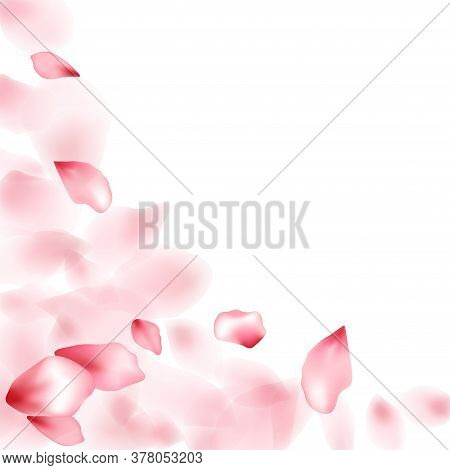 Apple Flower Flying Petals Isolated On White. Realistic Floral Background. Japanese Sakura Petals Sp
