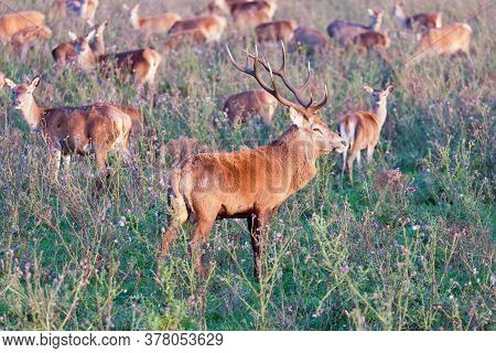 Dutch National Park Oostvaardersplassen With Male Deer And Harem Flock In Mating Season
