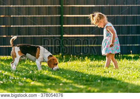 Baby Girl Standing With Beagle Dog In Backyard In Summer Day. Domestic Animal With Children Concept.