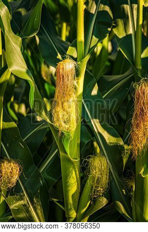 Young Cob Corn On The Stalk. Maize Field Background. Agriculture Concept