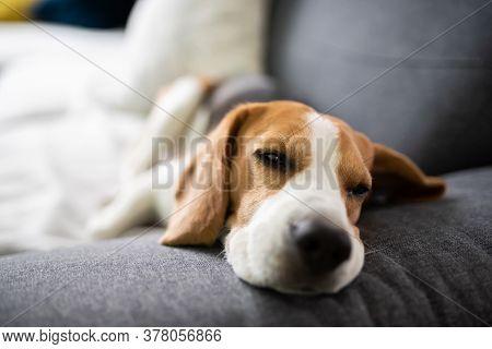 Beagle Dog Tired Sleeps On A Cozy Sofa, Couch, Canine Theme