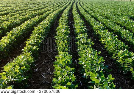 View Looking Down Rows Of Soybeans, Beans, At Dawn