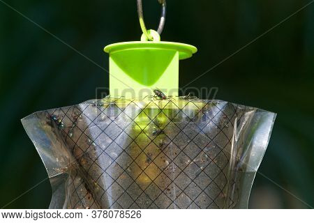 Fly Trap Hanging On A Ring, One House Fly On Top While Hundreds Of Other Flies Are Trapped Inside. I