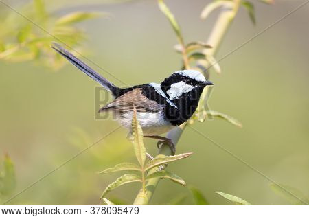 A Blue Faced Male Superb Fairy-wren Sitting On A Green Branch