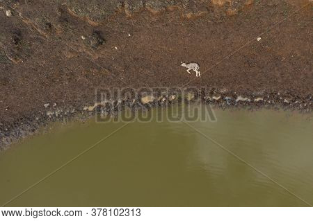 A Dead Lamb Lying Next To A Water Hole In The Australian Outback