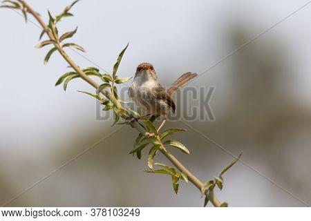 A Female Superb Fairy-wren Sitting On A Green Branch